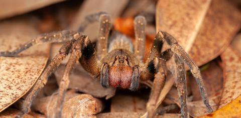 The world's most dangerous spider was hiding insider their groceries