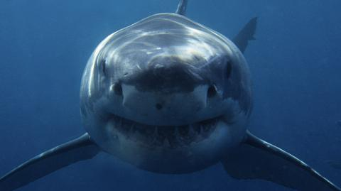 Great white shark attacks surfer less than 100 metres from the coast
