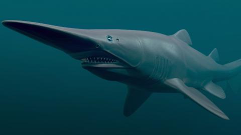 Goblin shark: The deep sea predator with a protruding snout