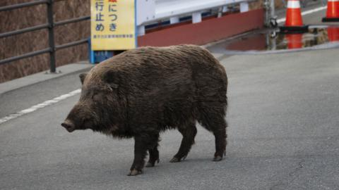 Nuclear accident has created strange hybrid pigs in Japan