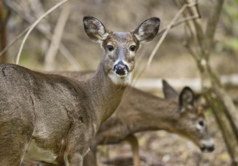 Coronavirus antibodies have been detected in wild deer. Here's what it means