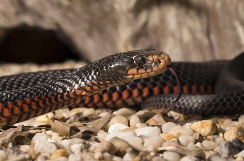 Man bites snake to death in weird case of vengeance