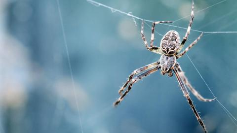 Giant 'frisky' spiders to invade British homes this September