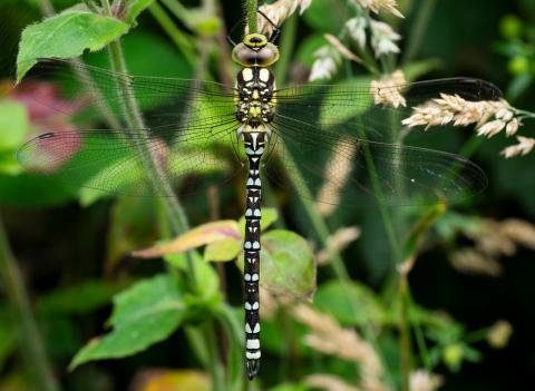 Dragonflies spread north as global temperatures rise