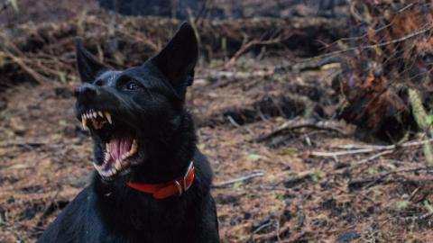 Italy: Young woman devoured by pack of 15 dogs in Satriano