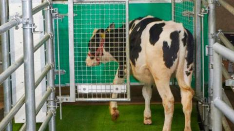 Cows undergo potty-training to help reduce urine pollution