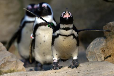 Swarm of bees kills 63 endangered penguins in South Africa
