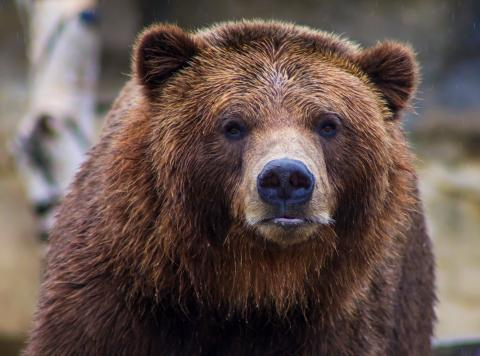 Grizzly bear killed by a mountain goat double its size