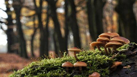 This mushroom literally attracts gold