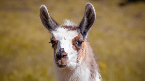 Could llamas be the secret to stopping COVID-19?