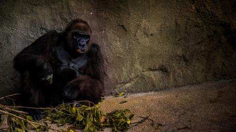 Corona: Several Gorillas Tested Positive