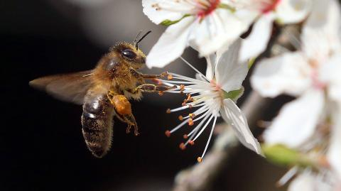 Scientists have taught bees to identify a case of COVID-19 in seconds