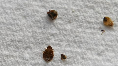 The colour of your sheets could be attracting bedbugs