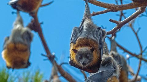 400,000 infected with COVID-like viruses from bats every year, study finds