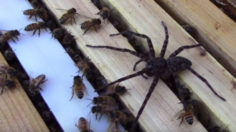 Watch as these bees defend their hive from a fishing spider (Video)