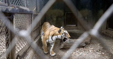 A Tiger Tested Positive for COVID-19 – Could This Mean Animals Are Contagious?