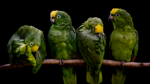 A Parrot's Testimony Is Being Used in a Murder Trial in Argentina