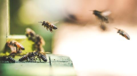 Bee populations are rising following Black Summer bushfires