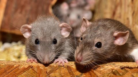An army of hungry rats are taking over neighbourhoods across the UK