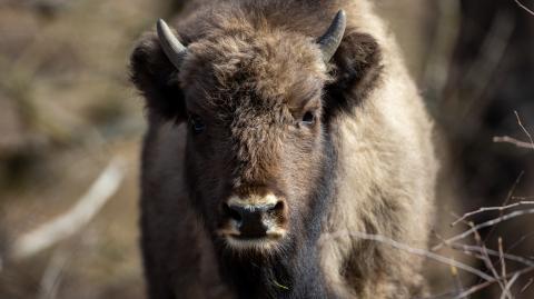 In America, 45,000 hunters are preparing to kill 12 bisons
