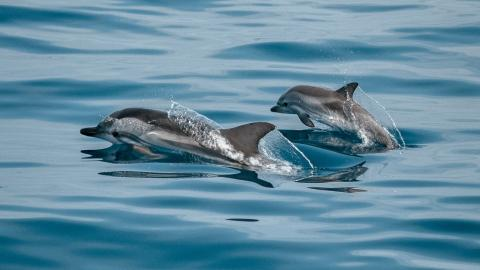 Morbillivirus: A new virus detected in a dolphin could start a global epidemic