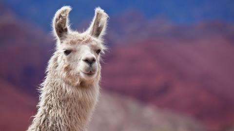 Llama based COVID immune therapy proves promising in early trials