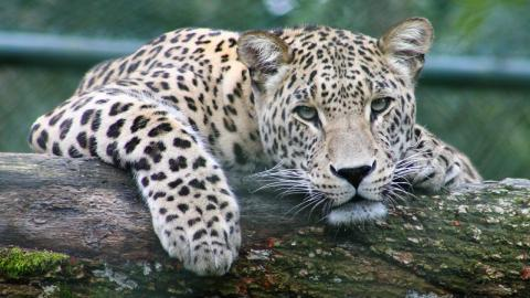 Watch: 55-year-old fights off leopard with her walking stick
