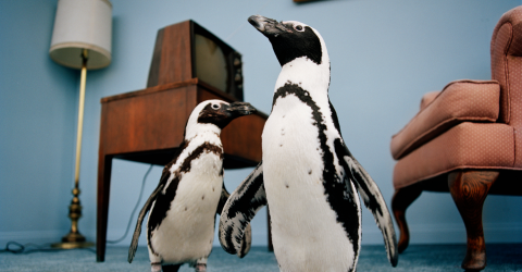 Researches Have Found That These Penguins Speak Similarly To The Way We Do