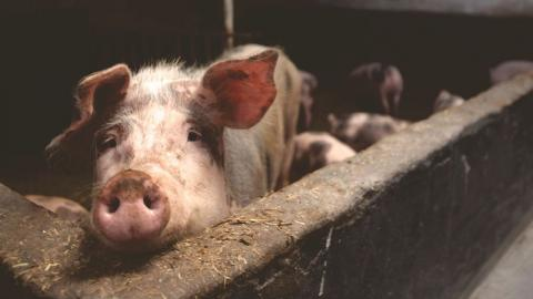 Researchers Have Managed to Partially Resuscitate Brains of Pigs That Had Recently Died