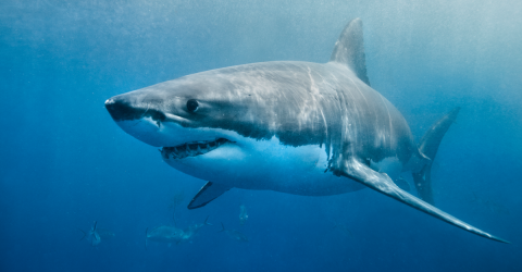 Insane Footage Shows Great White Shark Stealing Fishermans Catch