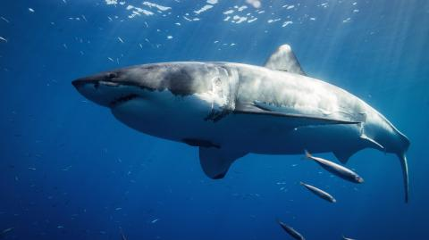 This is the world's largest great white shark and she's 6 metres long