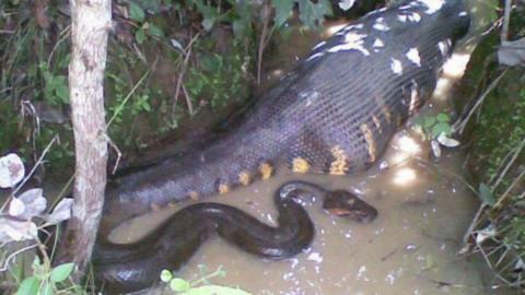 Impressive Images of an Anaconda Swallowing Its Prey (Video)