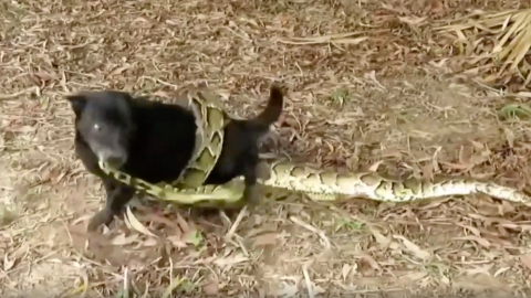 This dog was being squeezed to death by a python - until he made an incredible escape