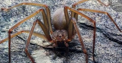 This Mexican Spider's Bite Can Rot Your Skin
