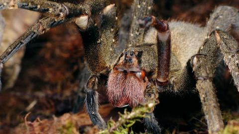 Meet phoneutra nigriventer, the spider who can give you an erection