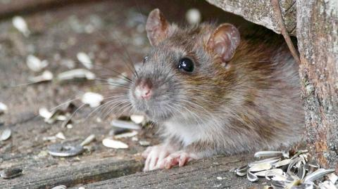 Australian woman wakes up to rodent nibbling on her eyeball