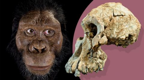 The Skull Of Lucy's Ancestor Has More To Tell Us About The History Of Humanity