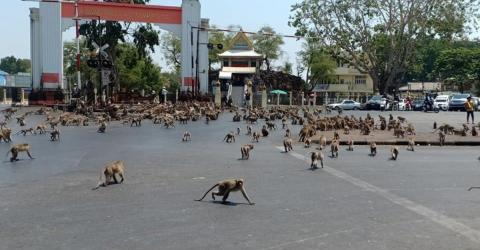 """Hundreds of hungry primates reenact """"Planet of the Apes"""" in downtown Lopburi City, Thailand"""