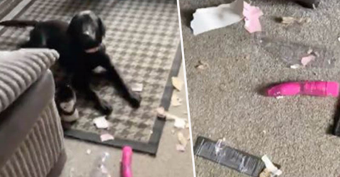 This Dog Stole Their Neighbour's Package Containing a Toy That's Not Meant for Animals