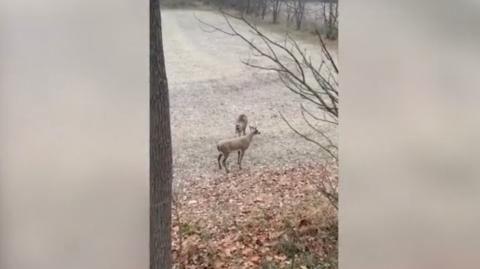 Deer Gets the Shock of Its Life After Attacking Another Deer