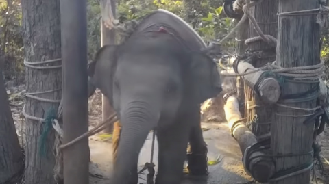 """An NGO Shared Shocking Footage of the Cruel Treatment of """"Tourist Elephants"""" in Thailand (VIDEO)"""
