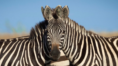 This photo of two zebras has completely divided the internet
