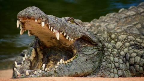 This killer crocodile might still be at large after eating 300 humans