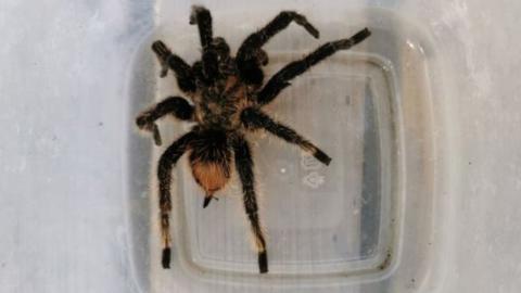 Man found a tarantula so 'humongous', he had to call the police