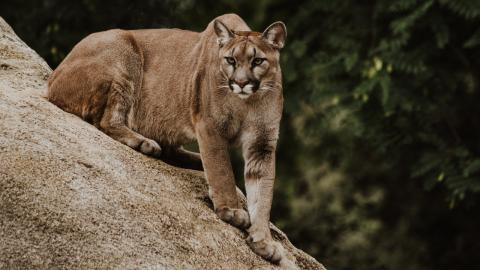 Superhero mom strikes mountain lion with bare hands to save her child