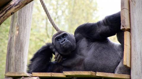 Gorillas perform oral sex on each other in front of horrified kids at zoo