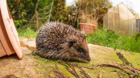 New Zealand wants to eradicate hedgehogs from their archipelago