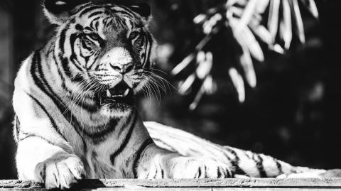 An ultra-rare black tiger in India was caught on camera for the first time