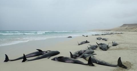 136 Dolphins Found Dead On A Beach In Cape Verde